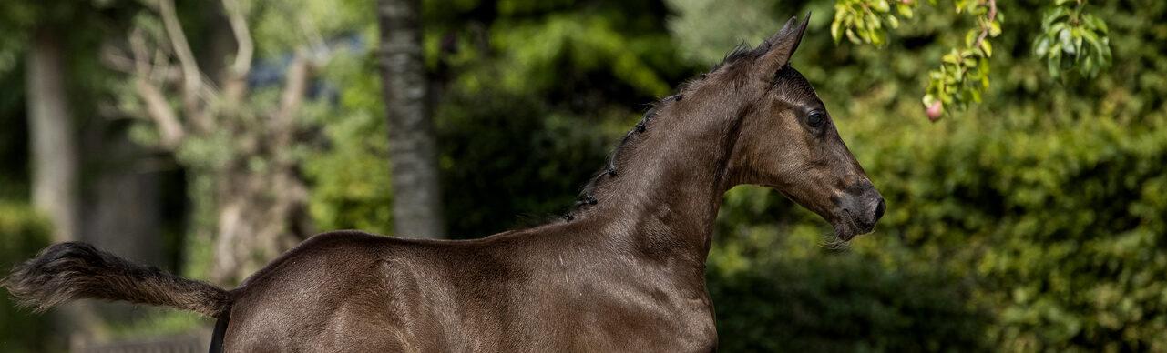 EDS veulenveiling foal auction