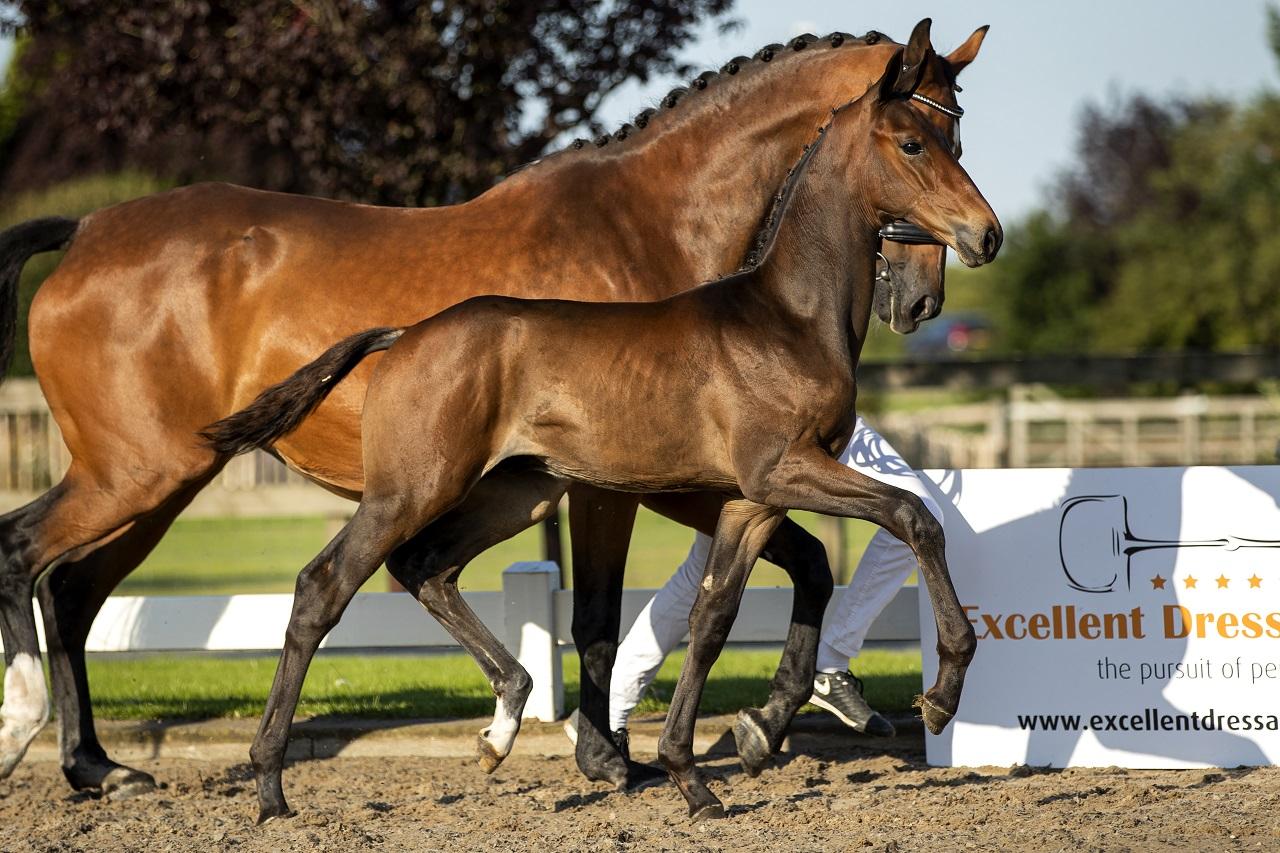 veulenveiling prinsenstad foal auction
