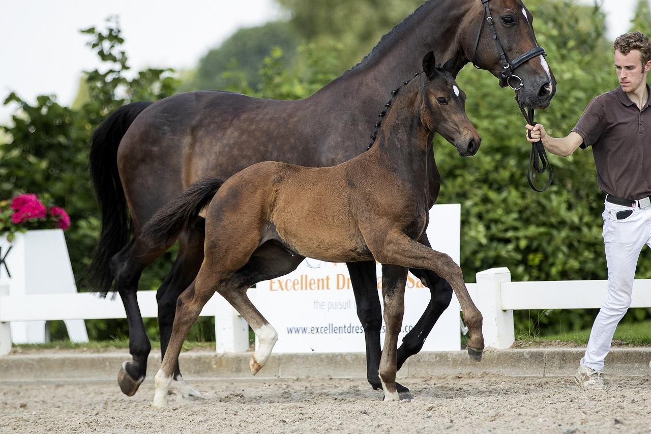 Veulenveiling veulen veiling foal auction Prinsenstad