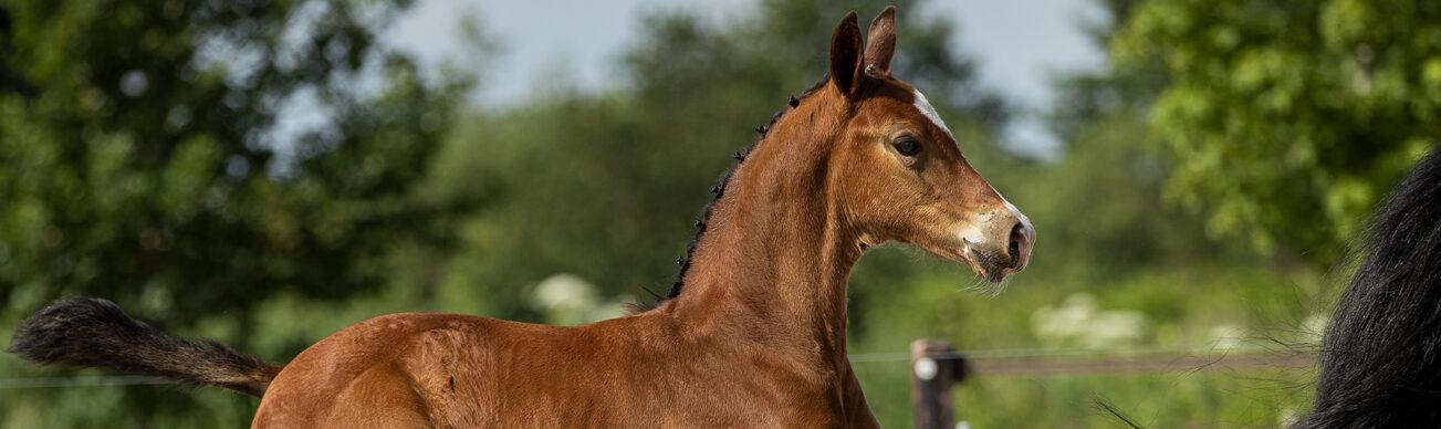 veulenveiling foal auction veulen