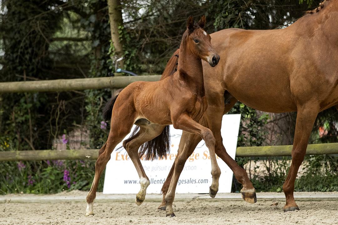 veulenveiling foal auction