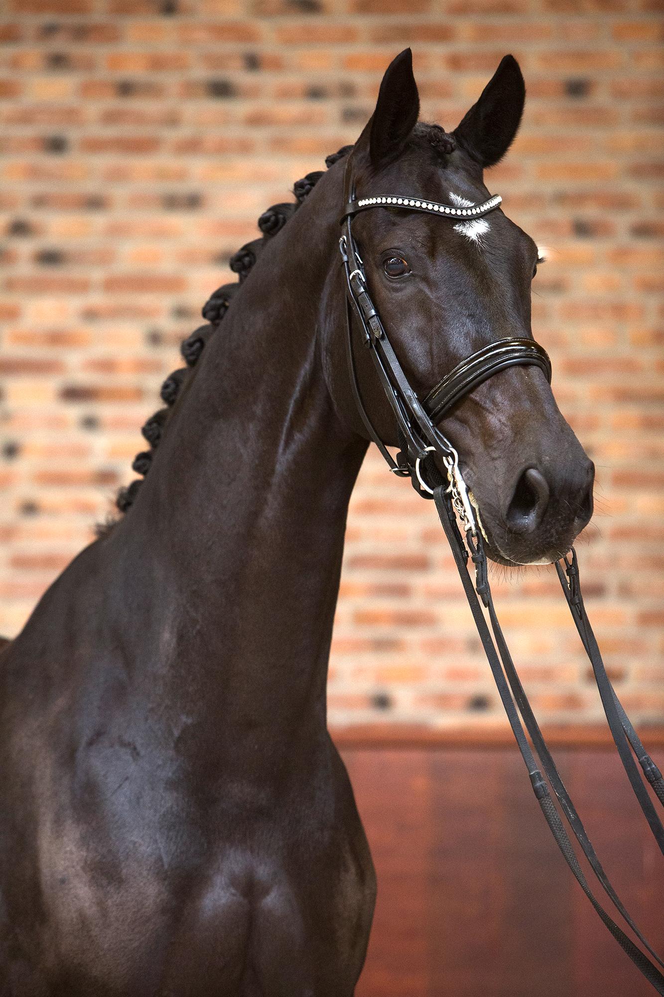Brother de Jeu - Excellent Dressage Sales horse